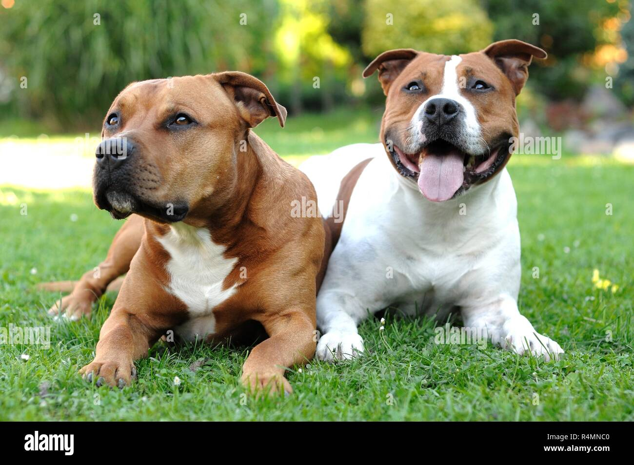 American Staffordshire terriers - Stock Image