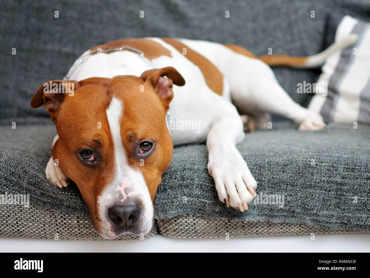 Lying dog - Stock Image