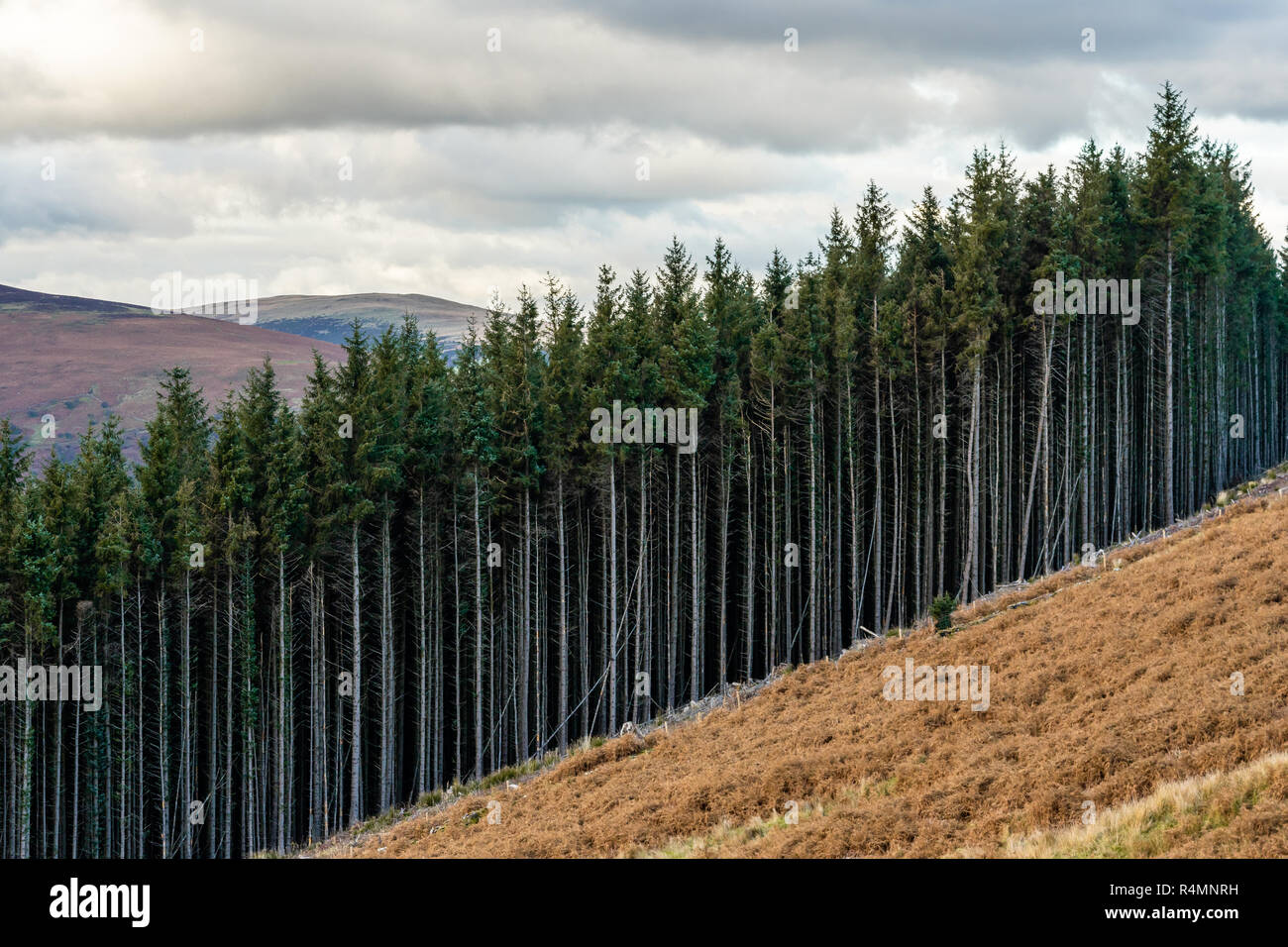 Rows of non-native conifer trees in the Brecon Beacons National Park at Tor-y-foel, Powys, Wales, UK - Stock Image
