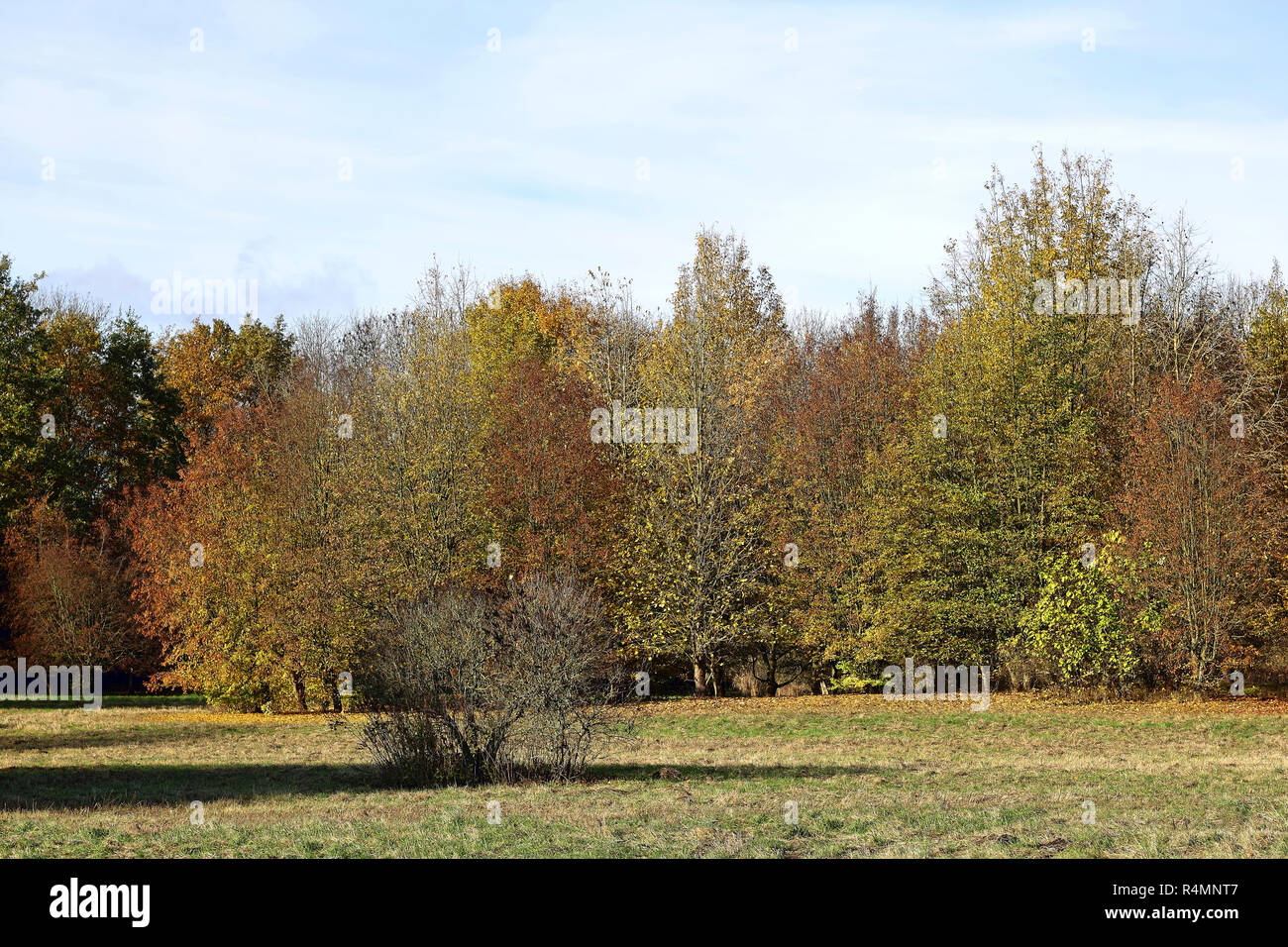 Riparian forest in autumn colours - Stock Image