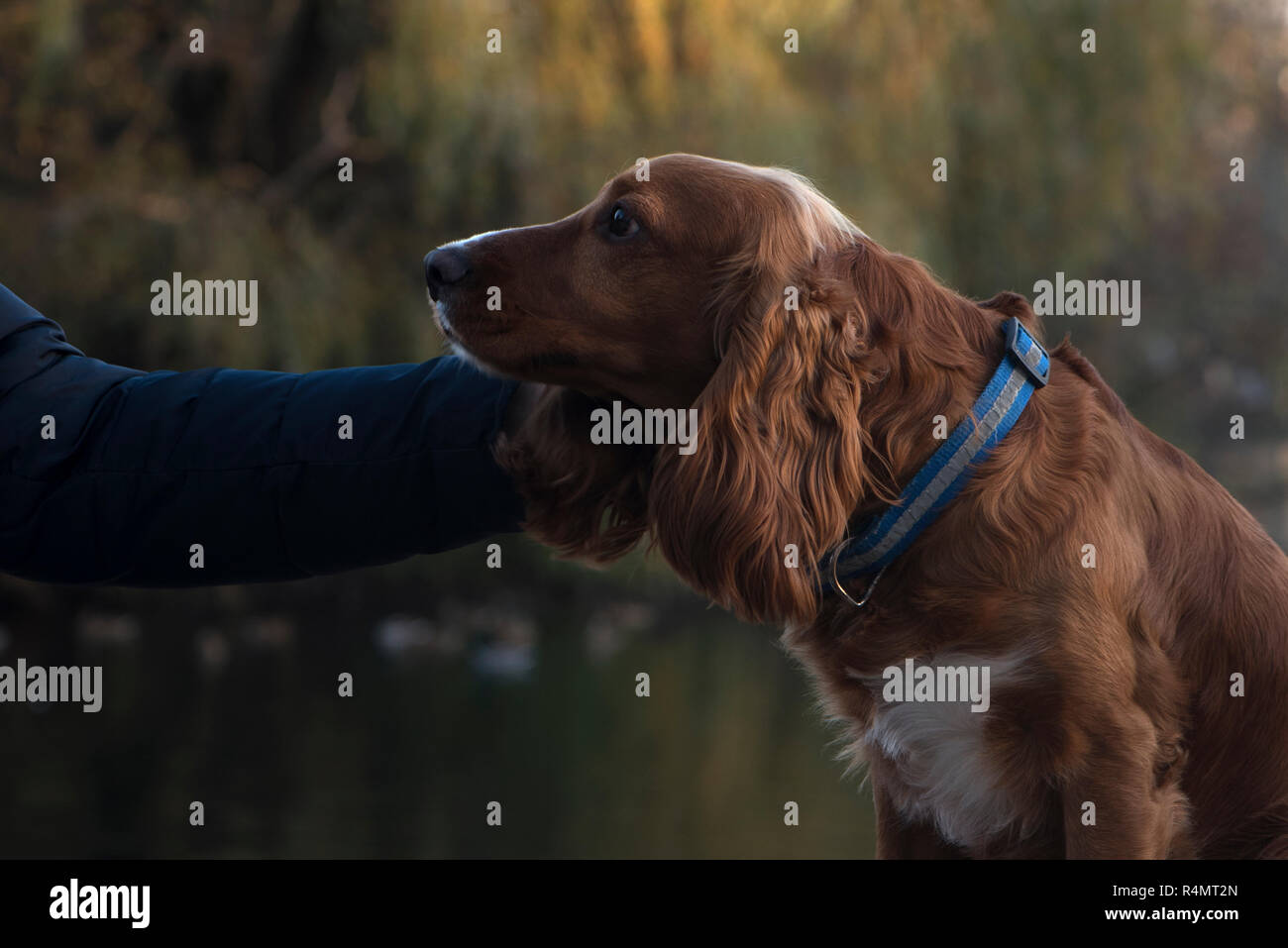 dog breed Cocker Spaniel faithfully looks when her caress, sitting on a bench, a Board on the background of the lake, the trees, - Stock Image