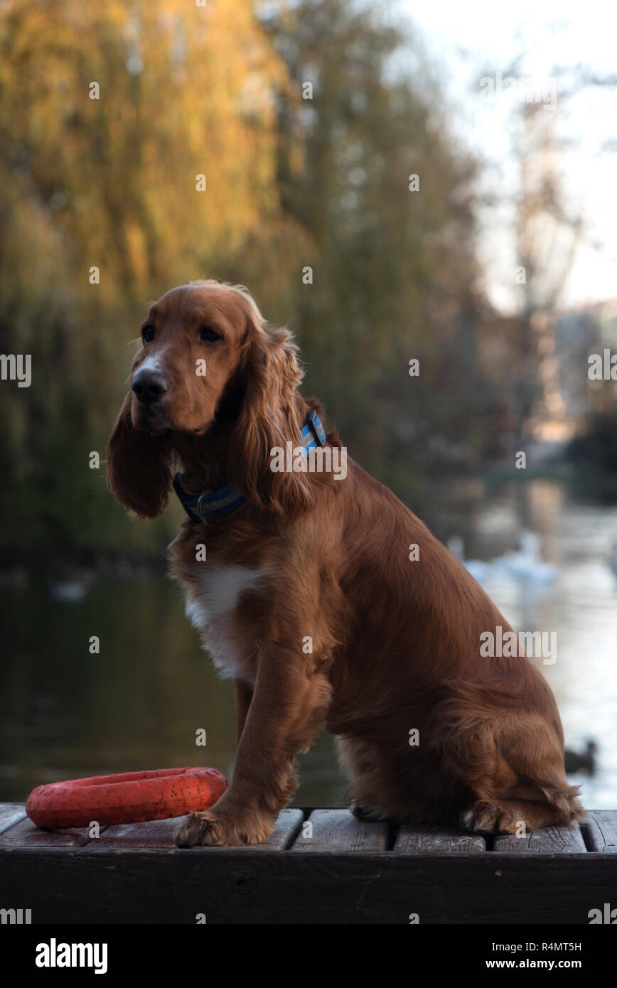 dog breed Cocker Spaniel posing sitting on a bench, a Board and holding in the teeth of a large red ring on the background of the lake, trees, - Stock Image