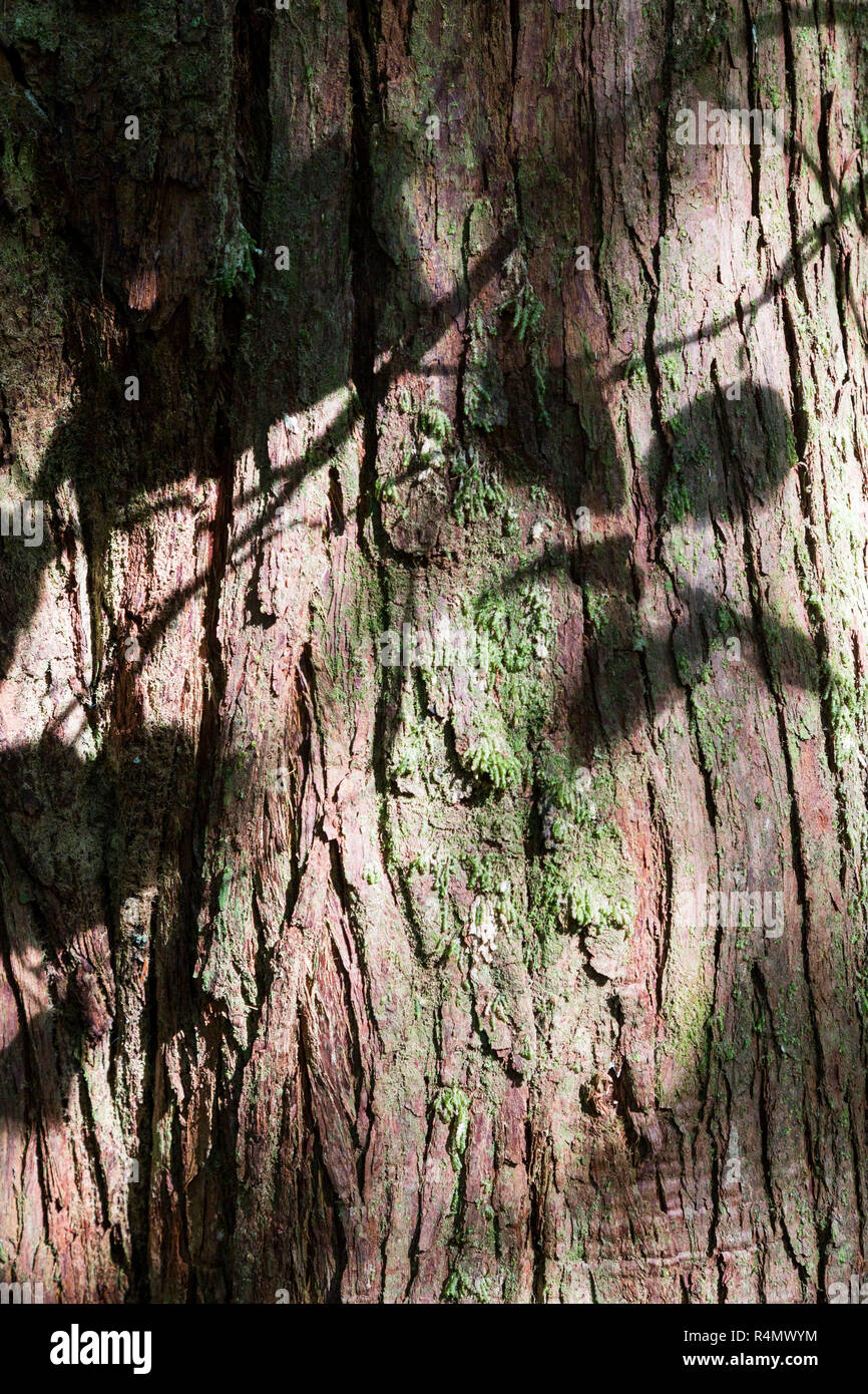 shadows of leaves on a tree trunk in the forest, Tofino gardens, Tofino, Vancouver Island, Pacific Rim National Park Reserve, British Columbia, Canad - Stock Image