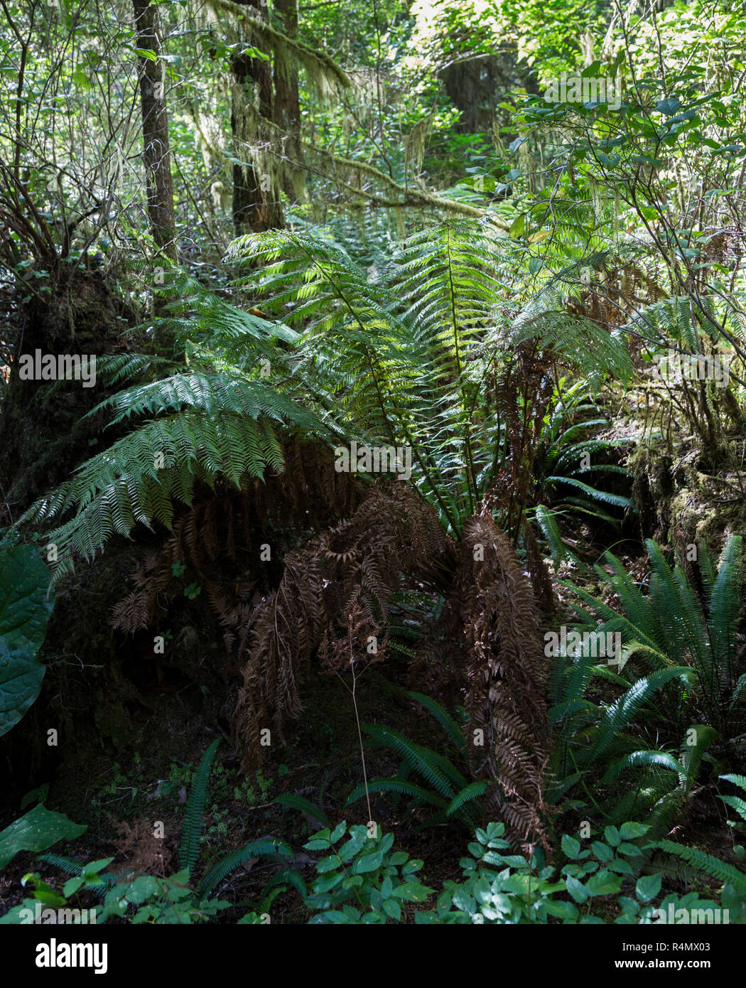 Woodland area with ferns in Tofino gardens, Tofino, Vancouver Island, Pacific Rim National Park Reserve, British Columbia, Canad - Stock Image