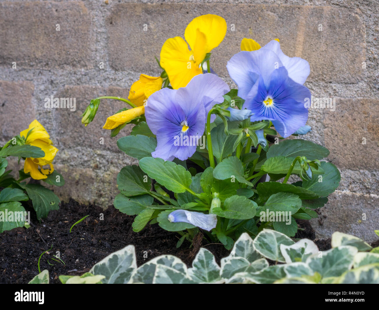 Bright Colored Viola Or Pansy Flowers The Colors Yellow And Blue