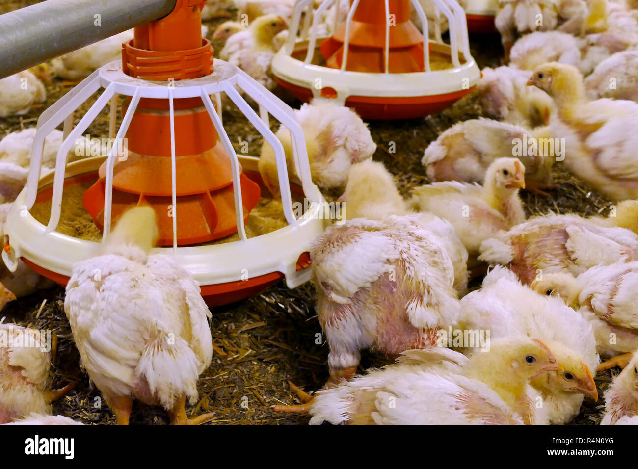 Chickens for fattening on a modern poultry farm - Stock Image