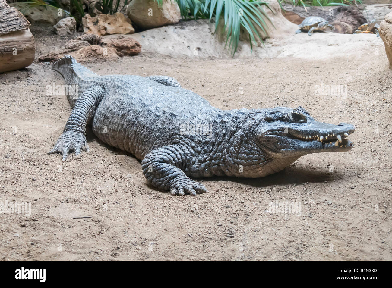 Yacare Caiman staying still on the sand - Stock Image