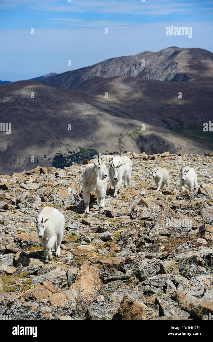 Mountain goats on Square Top Mountain in Colorado - Stock Image