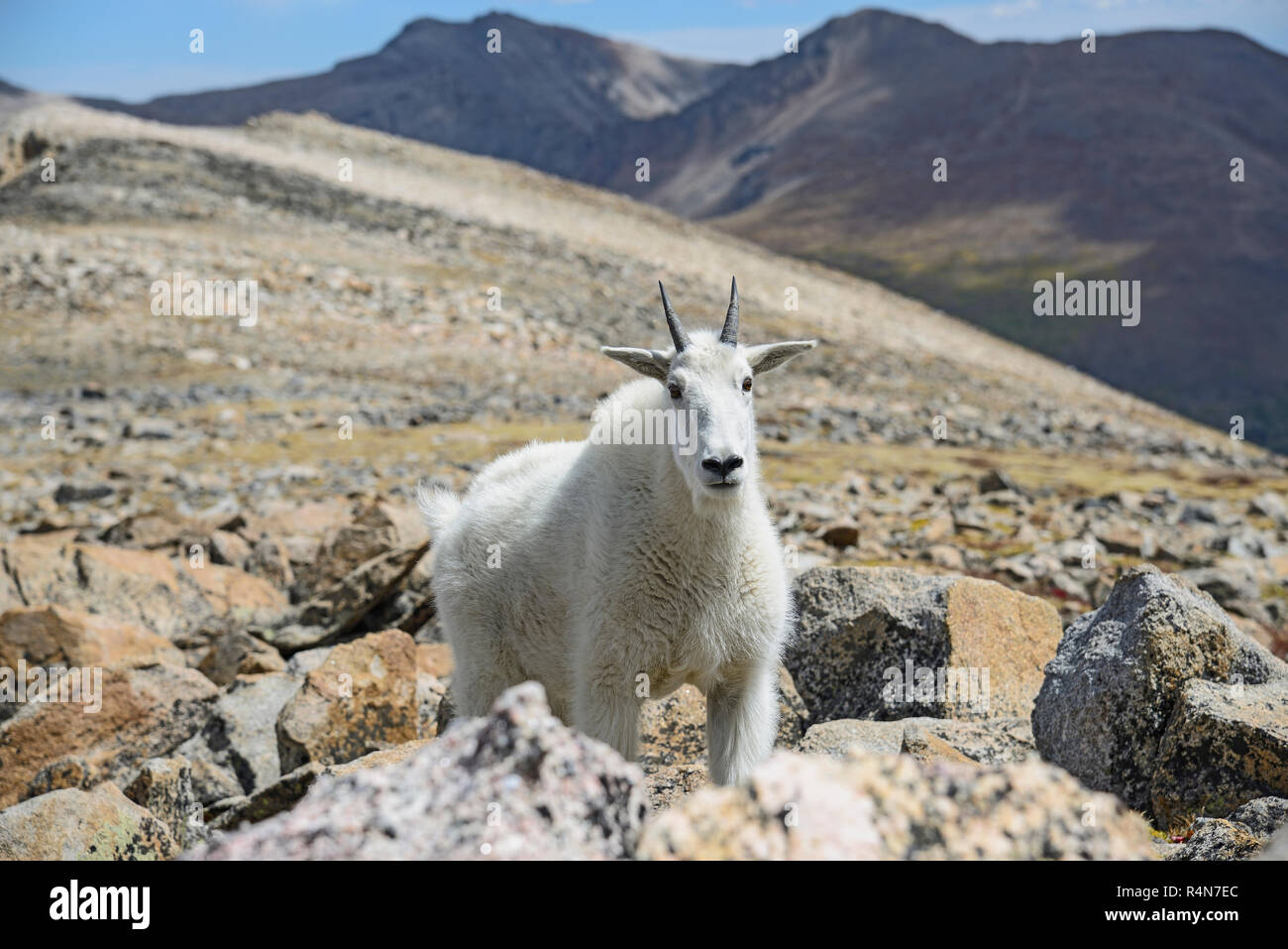 Mountain goat on Square Top Mountain in Colorado - Stock Image