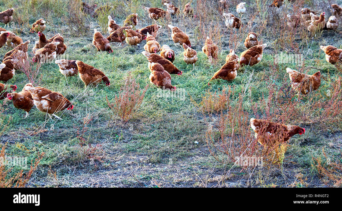 Free running chickens on the farm. - Stock Image