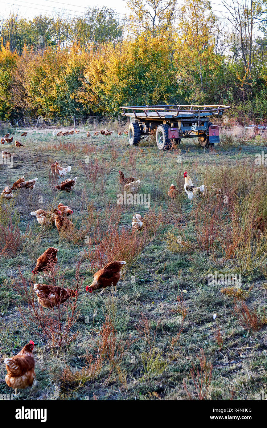 Free running chickens in a field with a trailer. - Stock Image