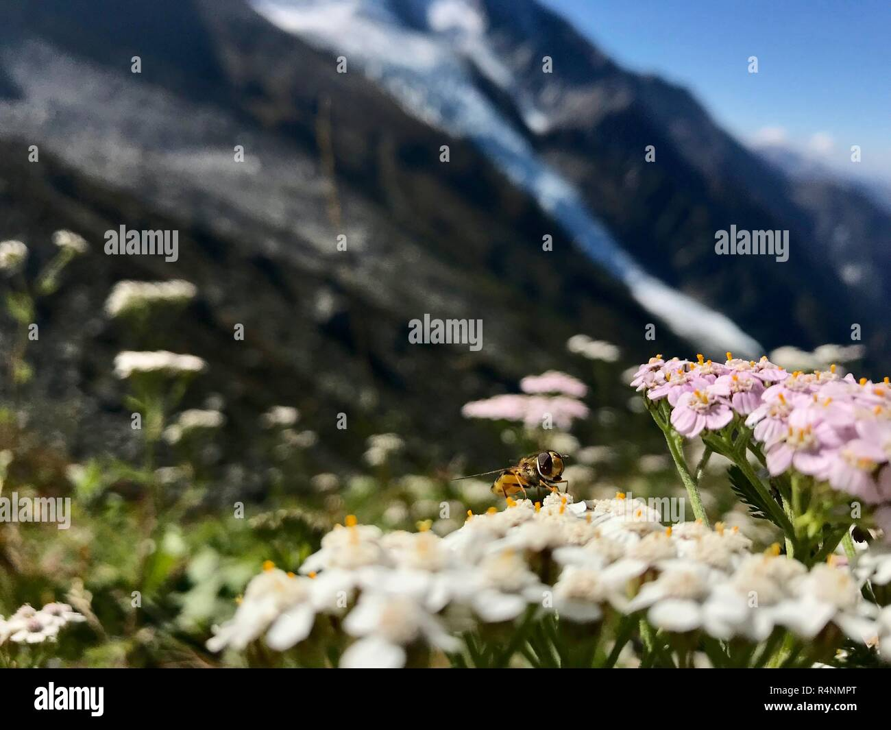 Flowers and bee in Montblanc Stock Photo