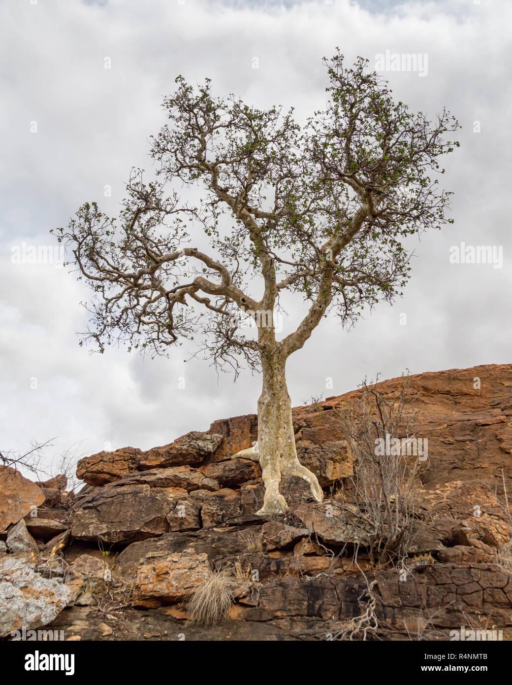 African Rock Fig Fresh Seeds Rock Splitting Tree
