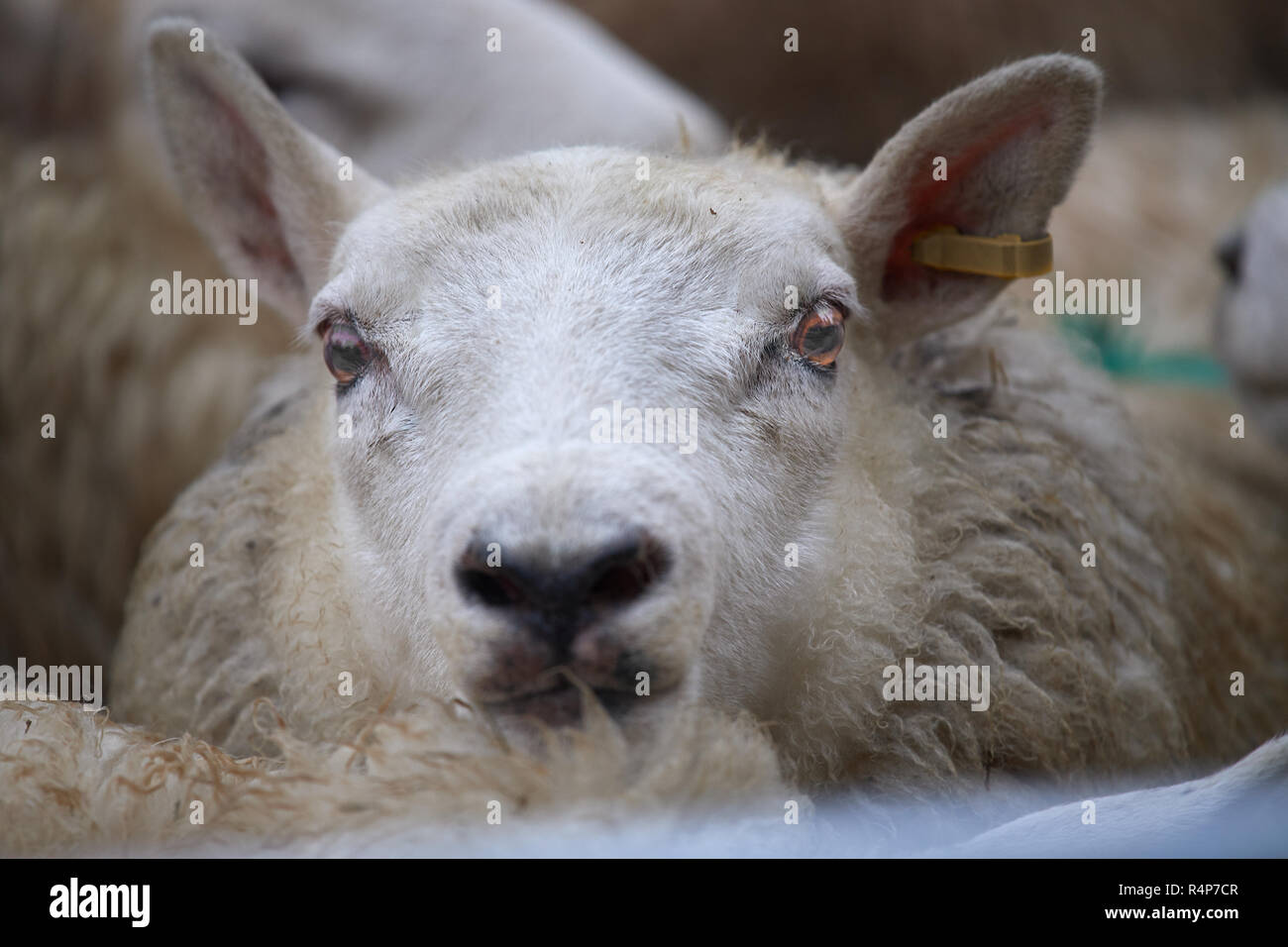 Uppingham, Rutland, UK. 28th November 2018. A lamb in the annual christmastime fatstock competition of primped and preened pigs, sheep and cattle, in the market square at Uppingham, Rutland, England on Wednesday 28th November 2018 Credit: Michael Foley/Alamy Live News - Stock Image