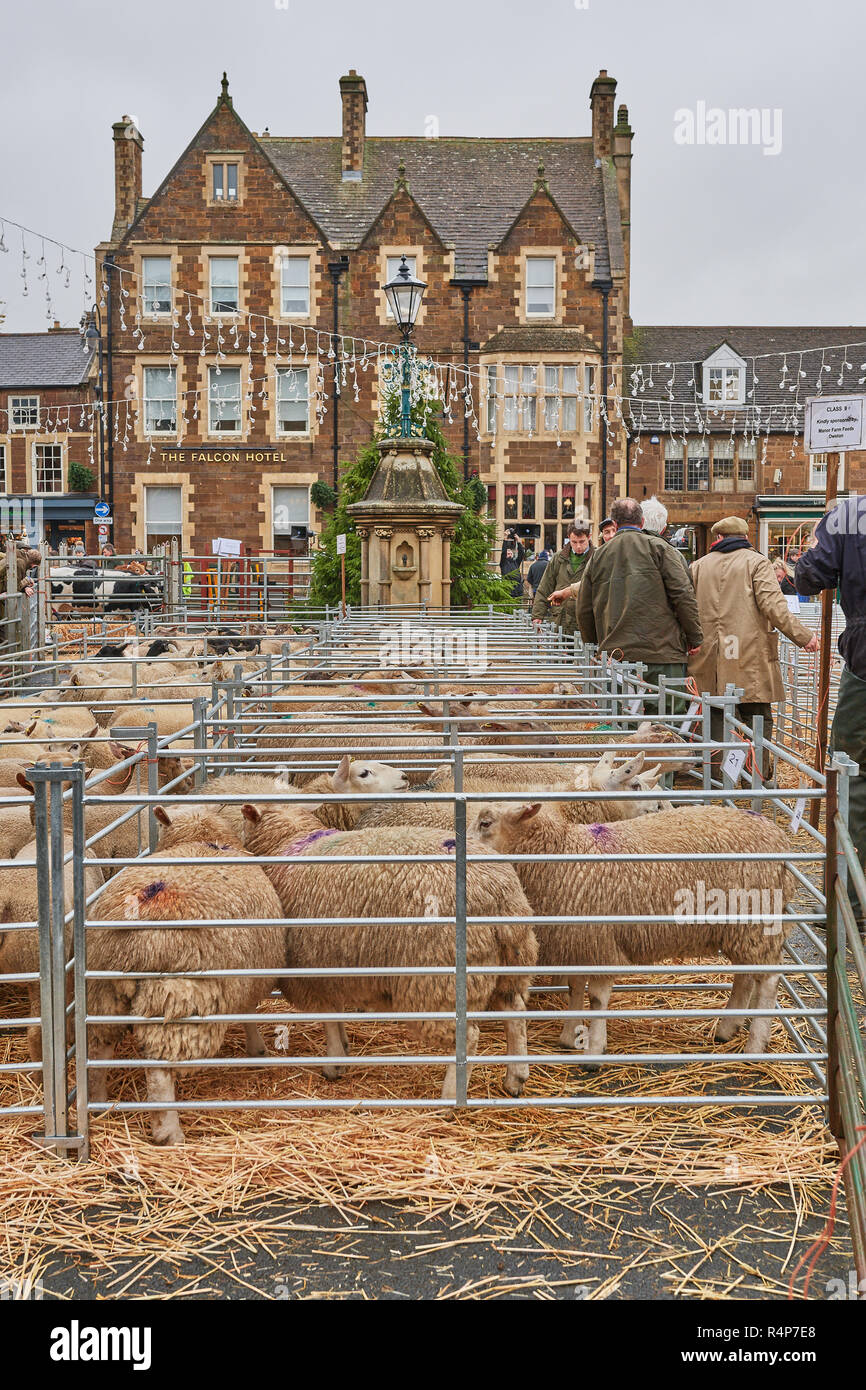 Uppingham, Rutland, UK. 28th November 2018. Pens of lambs at the annual christmastime fatstock competition of primped and preened pigs, sheep and cattle, in the market square of Uppingham, Rutland, England on Wednesday 28th November 2018 Credit: Michael Foley/Alamy Live News - Stock Image