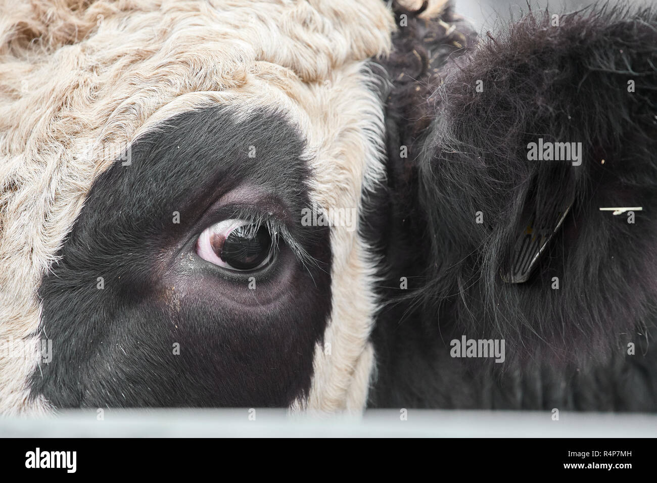 Uppingham, Rutland, UK. 28th November 2018. Bullock at the annual christmastime fatstock competition of primped and preened pigs, sheep and cattle, in the market square at Uppingham, Rutland, England on Wednesday 28th November 2018 Credit: Michael Foley/Alamy Live News - Stock Image