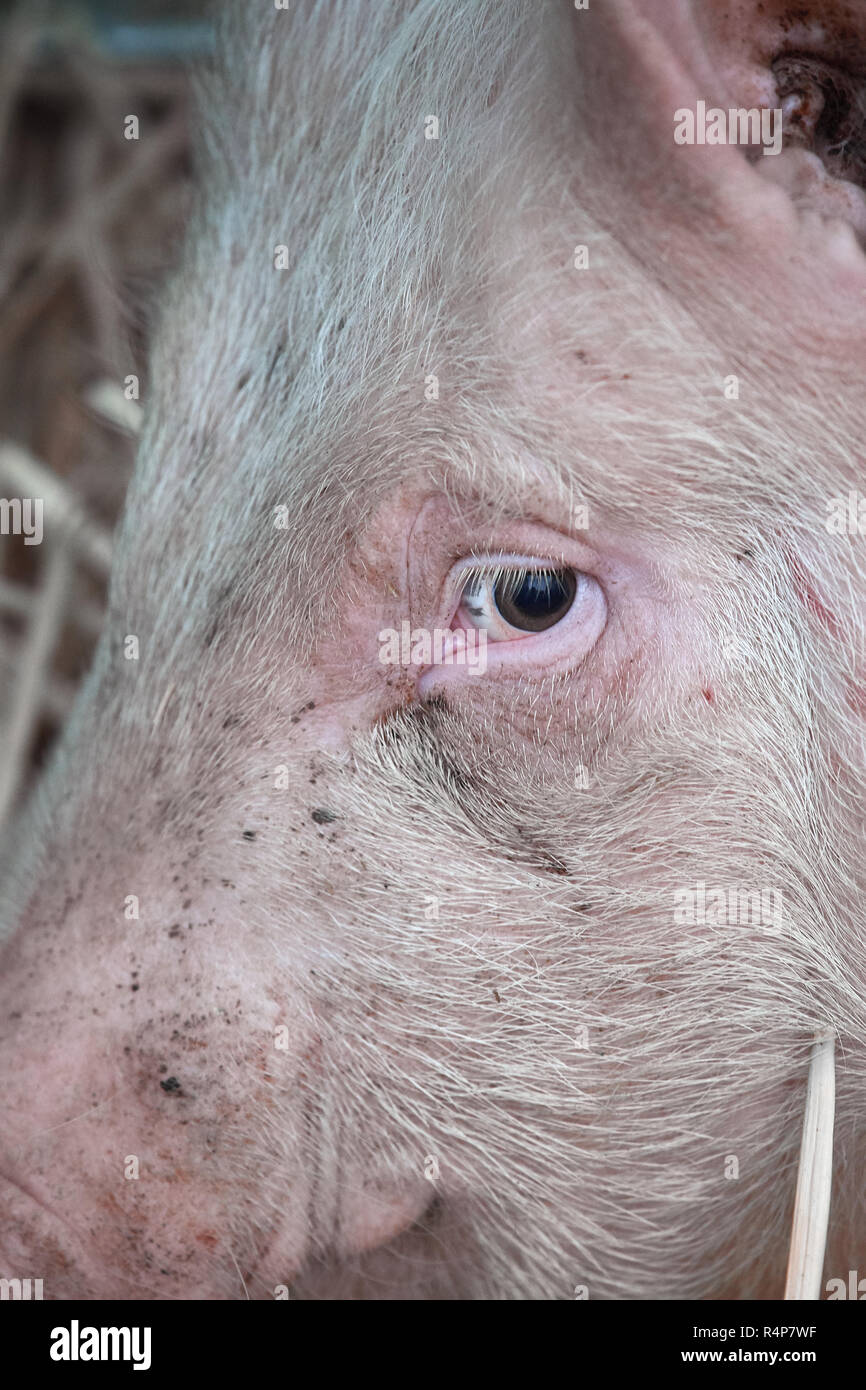 Uppingham, Rutland, UK. 28th November 2018. Wary pig at the annual christmastime fatstock competition of primped and preened pigs, sheep and cattle, in the market square at Uppingham, Rutland, England on Wednesday 28th November 2018 Credit: Michael Foley/Alamy Live News - Stock Image