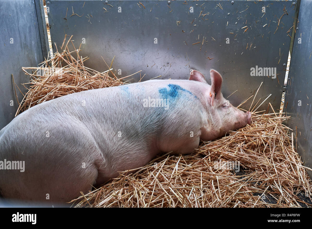Uppingham, Rutland, UK. 28th November 2018. Dozing pig at the annual christmastime fatstock competition of primped and preened pigs, sheep and cattle, in the market square at Uppingham, Rutland, England on Wednesday 28th November 2018 Credit: Michael Foley/Alamy Live News - Stock Image