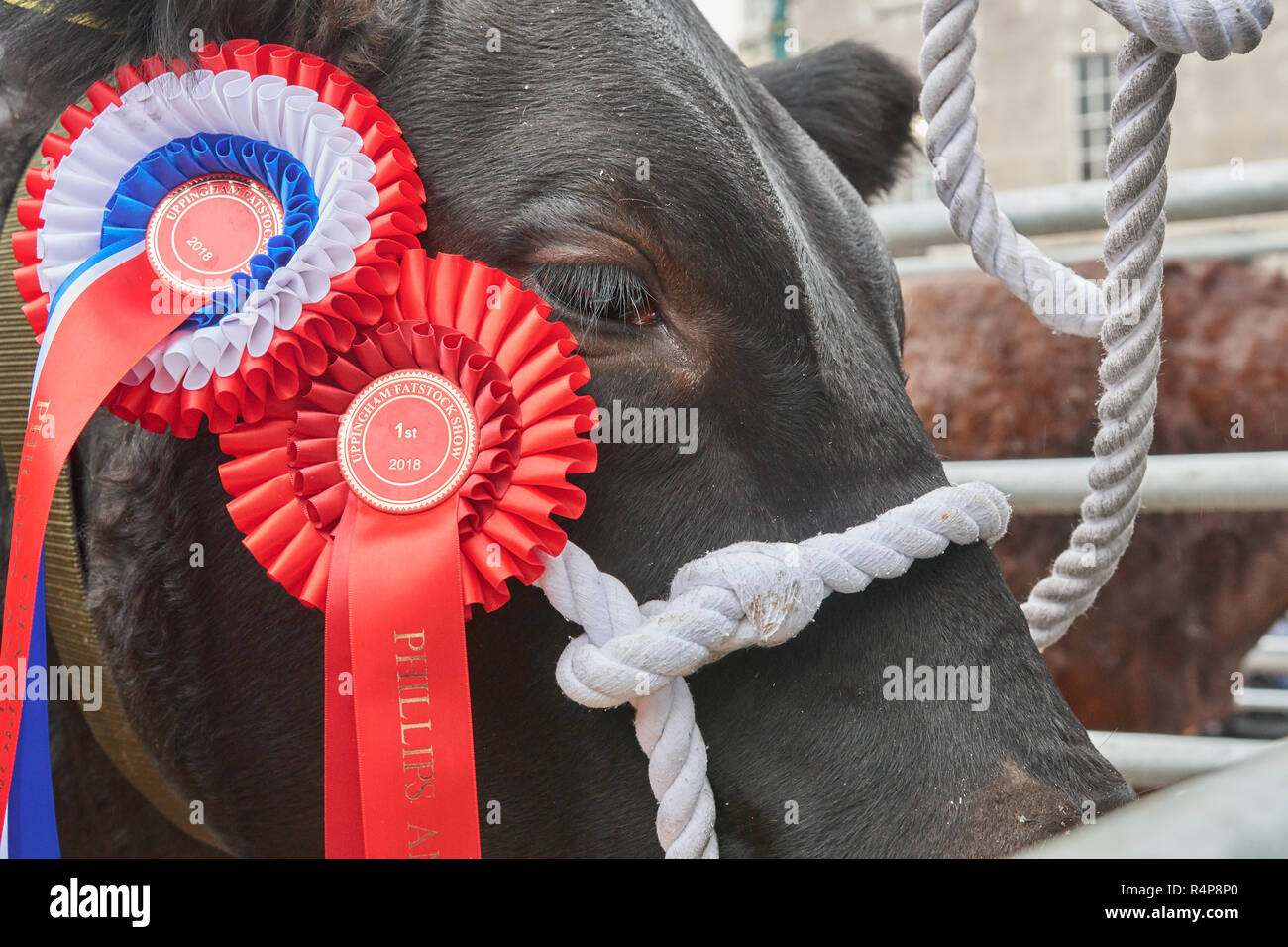 Uppingham, Rutland, UK. 28th November 2018. Prize winner at the annual christmastime fatstock competition of primped and preened pigs, sheep and cattle, in the market square at Uppingham, Rutland, England on Wednesday 28th November 2018 Credit: Michael Foley/Alamy Live News - Stock Image