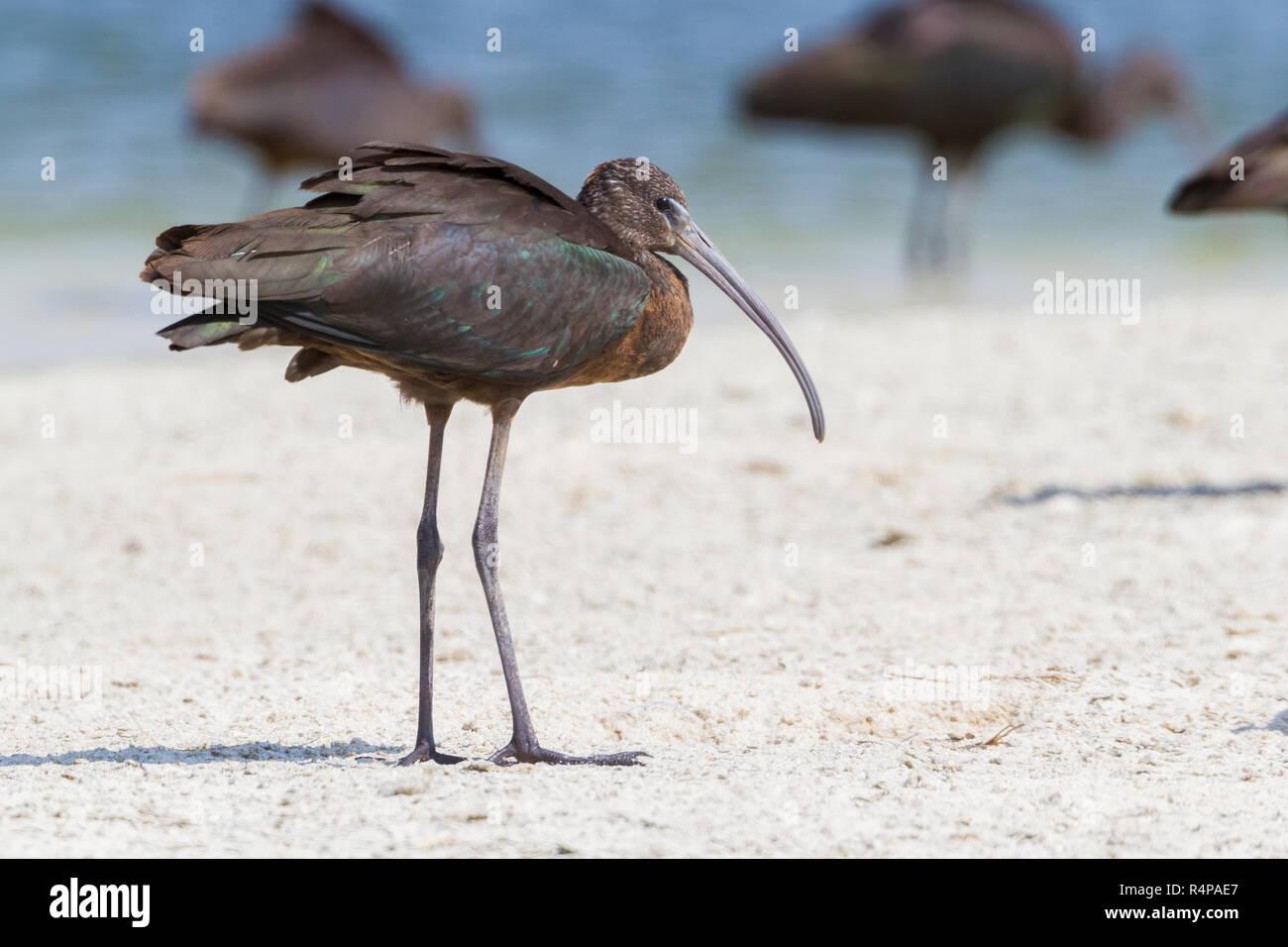 Glossy Ibis (Plegadis falcinellus), immature standing on a beach in Oman - Stock Image