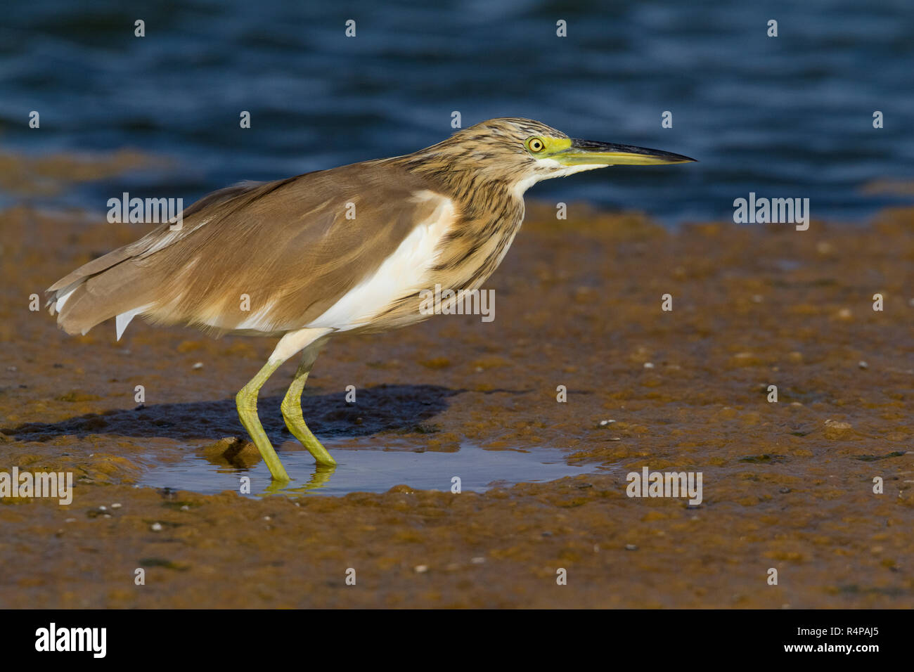 Squacco Heron (Ardeola ralloides), individual standing in a pond in Oman Stock Photo