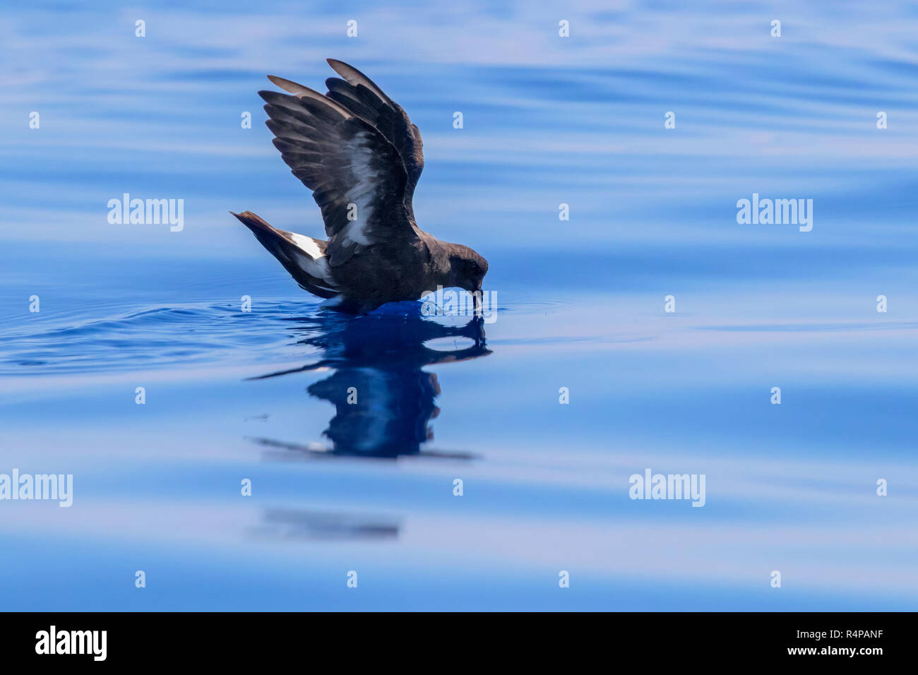 European Storm Petrel (Hydrobates pelagicus melitensis), individual in catching food on the water surface Stock Photo