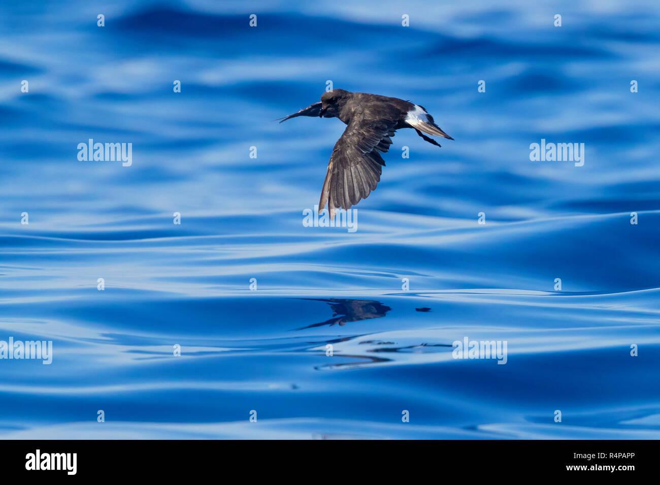 European Storm Petrel (Hydrobates pelagicus melitensis), individual in flight over the sea - Stock Image