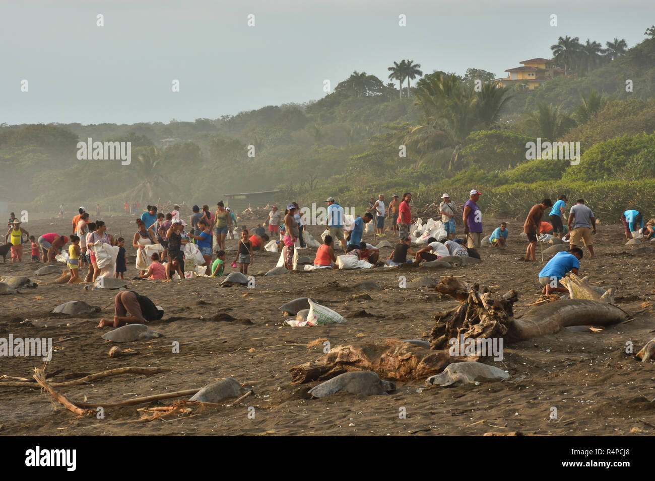 A Ostional people collect the turtles eggs in Ostional beach; Costa Rica, Guancaste - Stock Image