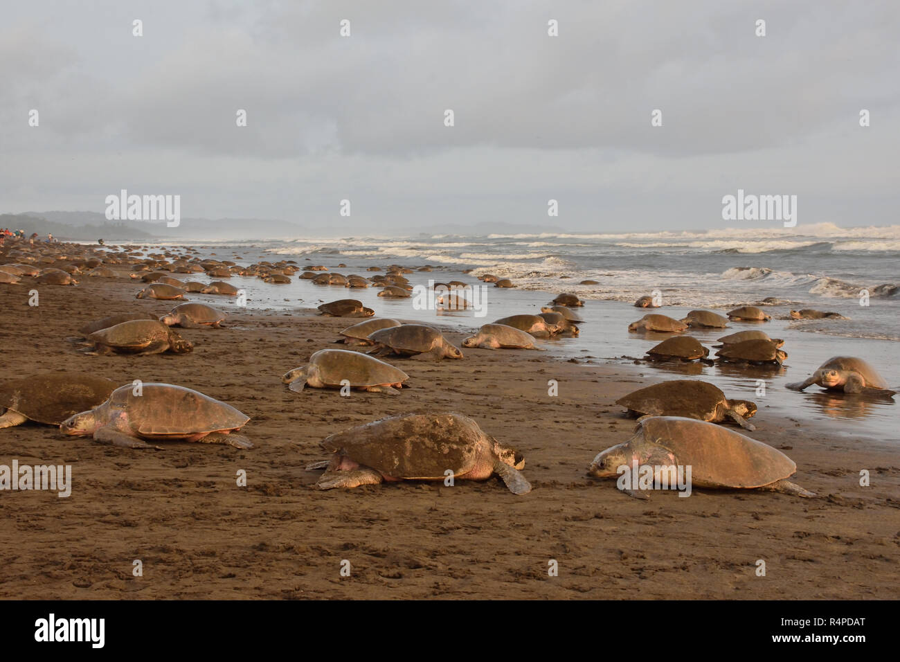 A Massive turtles nesting of Olive Ridley sea turtles in Ostional beach; Costa Rica, Guancaste - Stock Image