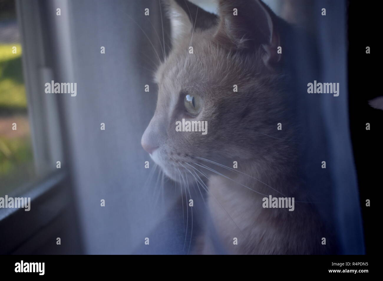 Cat Behind Curtain - Stock Image