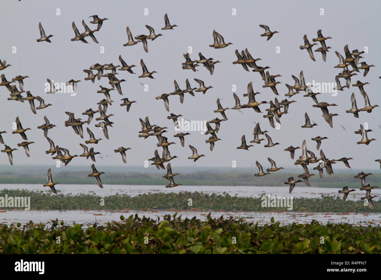 Flock of migratory birds at Baikka Beel Sanctuary. It is a wildlife sanctuary in the Hail Haor wetlands near Srimangal. Moulvibazar, Bangladesh. - Stock Image