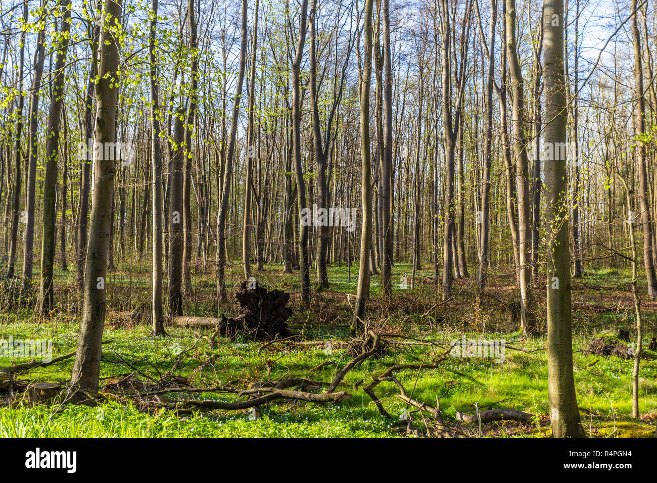ghost forest - Stock Image
