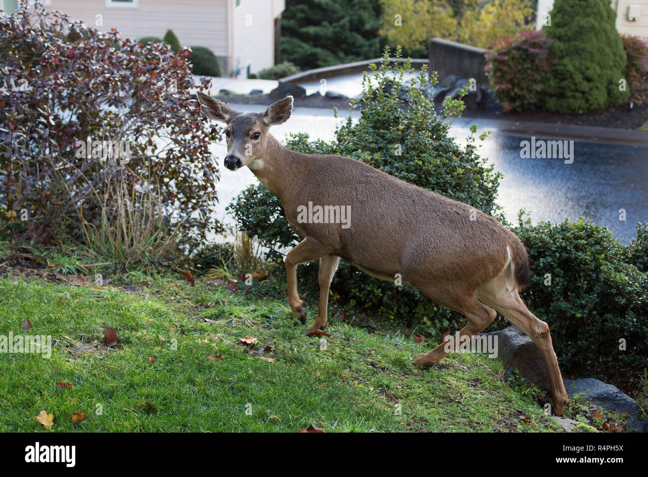 A black tail deer on a lawn in Eugene, Oregon, USA. - Stock Image