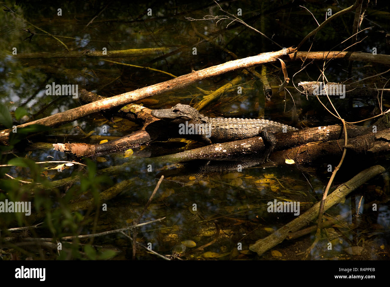 One small baby alligator sitting on a log in a swamp in Big Cypress National Wildlife Reserve, Everglades, Florida. Stock Photo