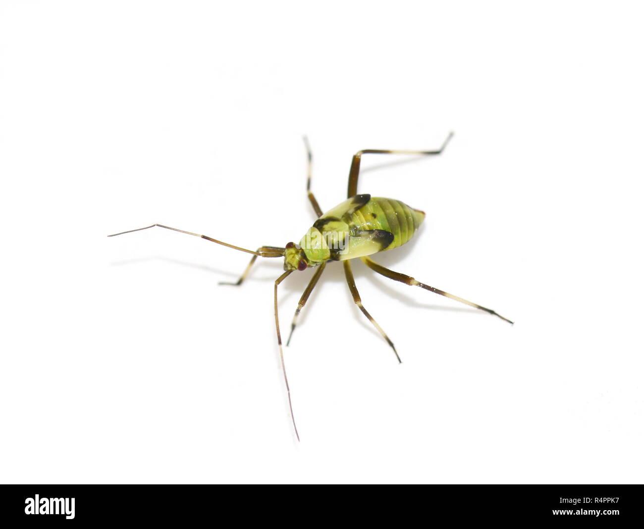 Common green capsid nymph Lygocoris pabulinus isolated on white background - Stock Image