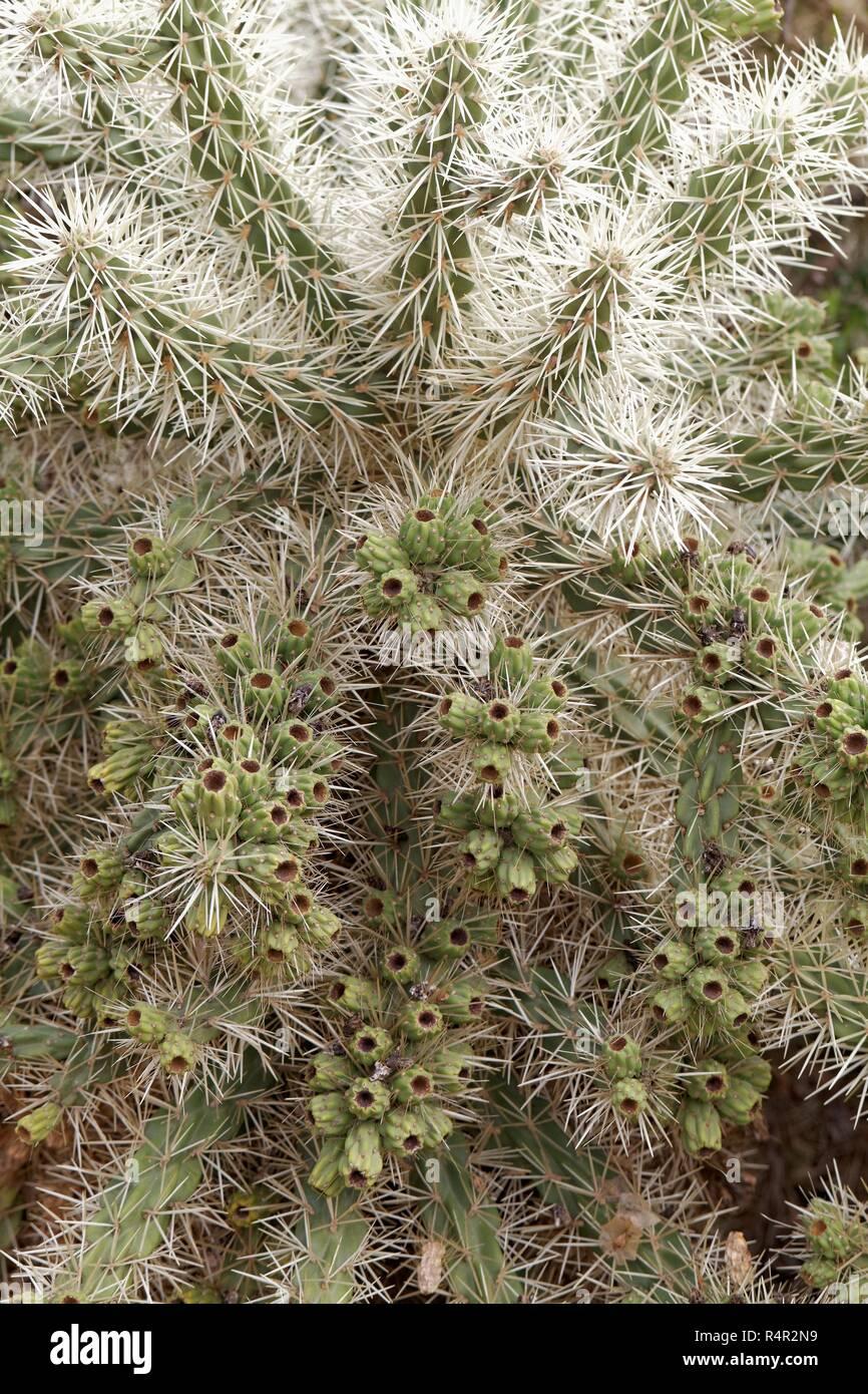 cylindropuntia tunicata Stock Photo