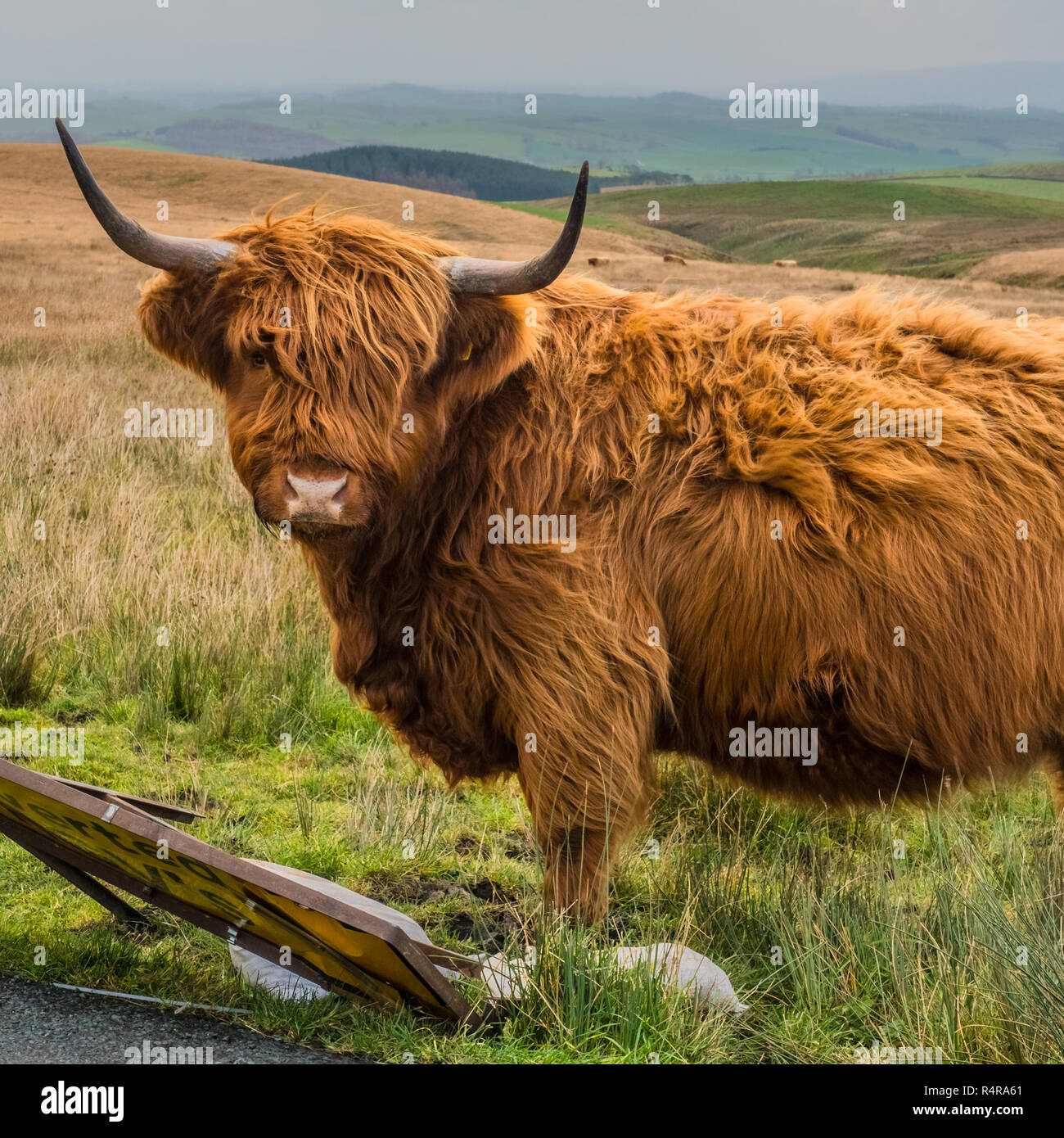Highland Cattle in the Yorkshire Dales near to Settle. - Stock Image