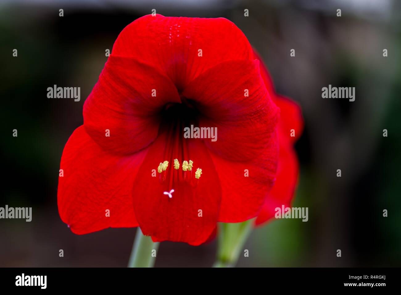 rote Amaryllis - Stock Image
