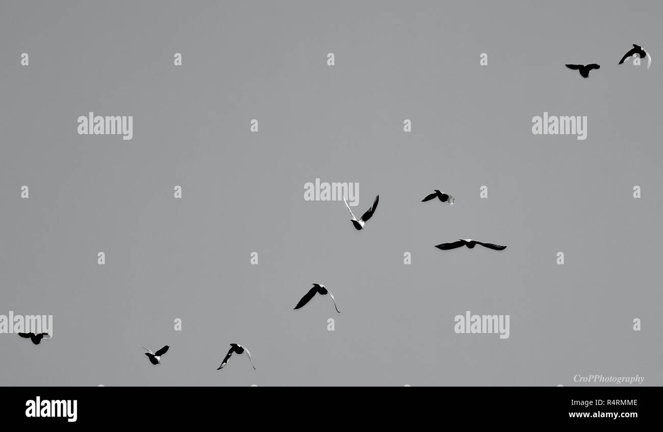 Black and White picture of pigeons in flight Stock Photo