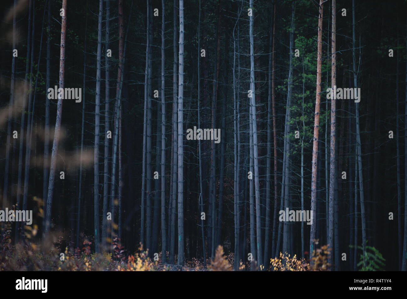 The Bark Trunks of Dense Coniferous Forest. High Trees. - Stock Image