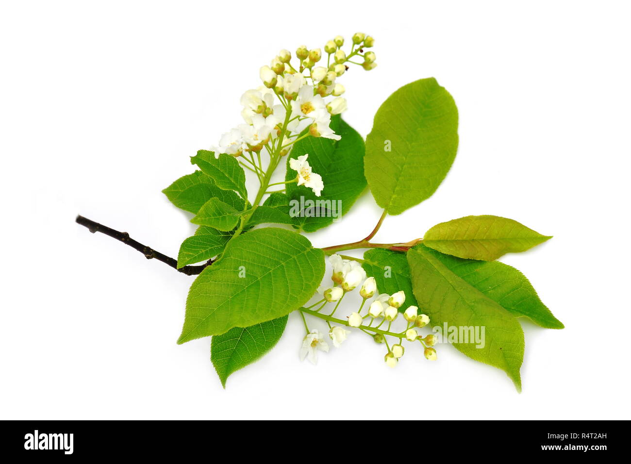 Branch Of Bird Cherry Tree Prunus Padus Isolated On White