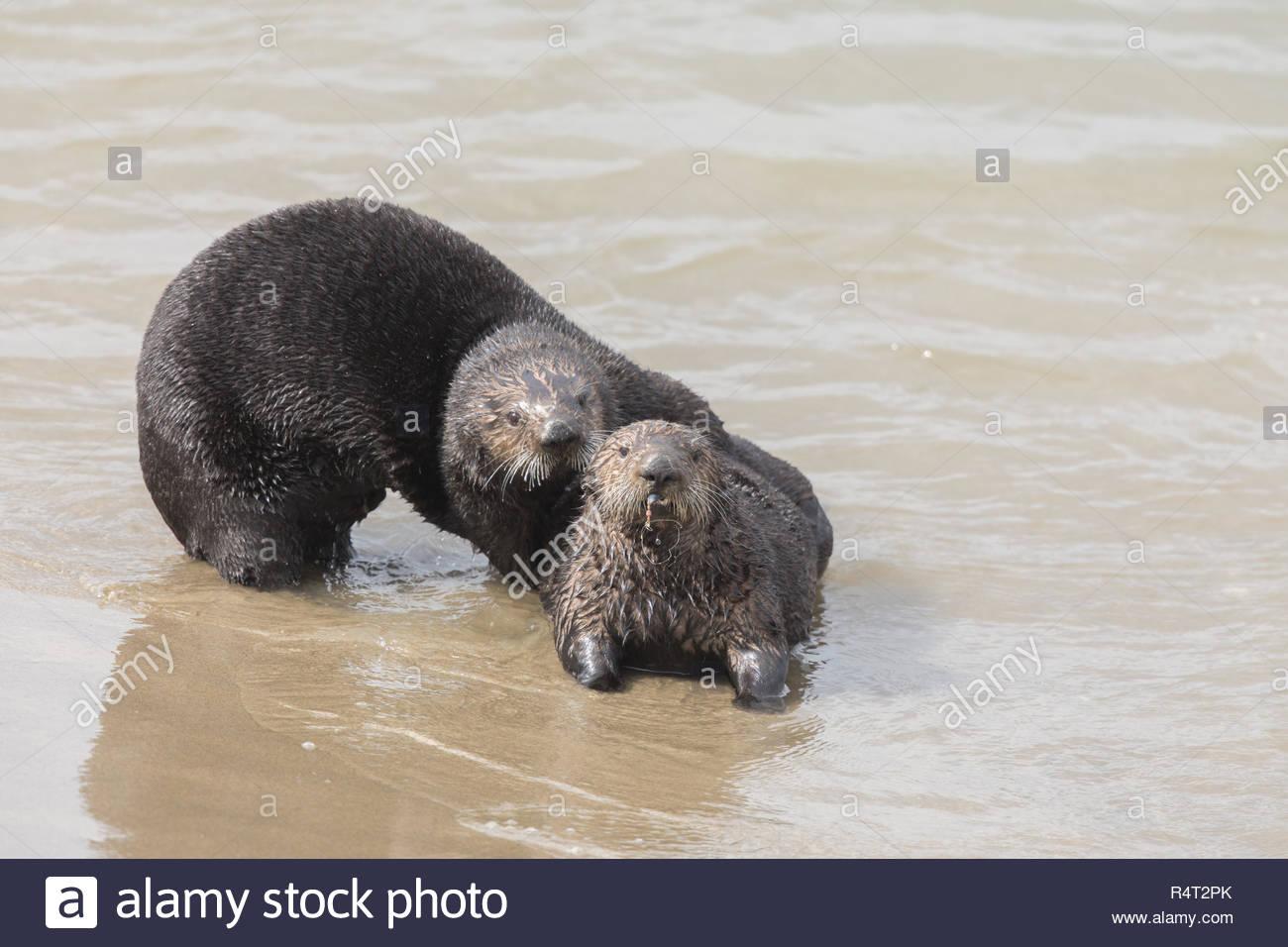 Playful Sea Otters Stock Photo