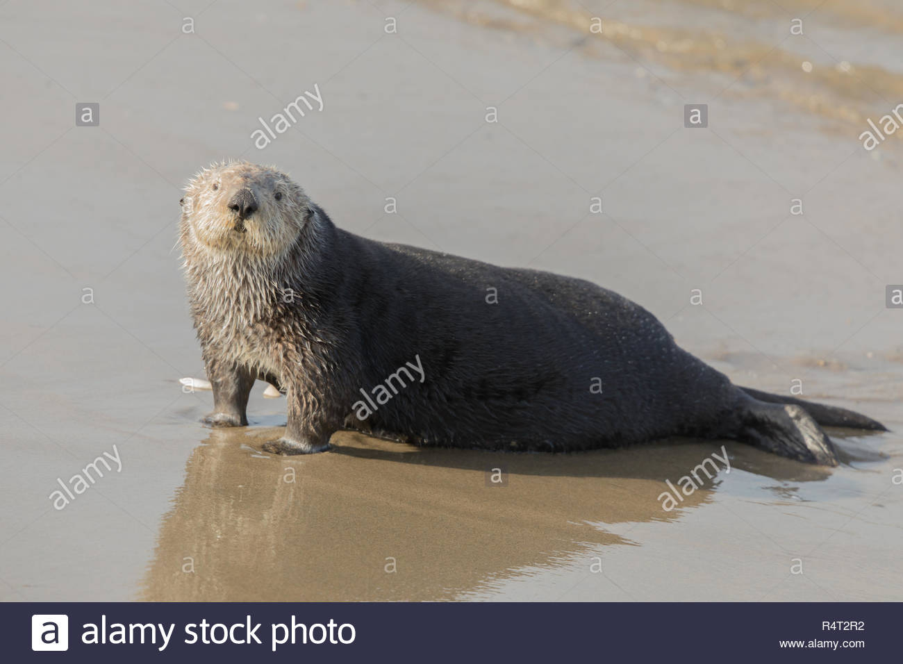 Sea Otter comes out of the water for a mid-day rest. Stock Photo