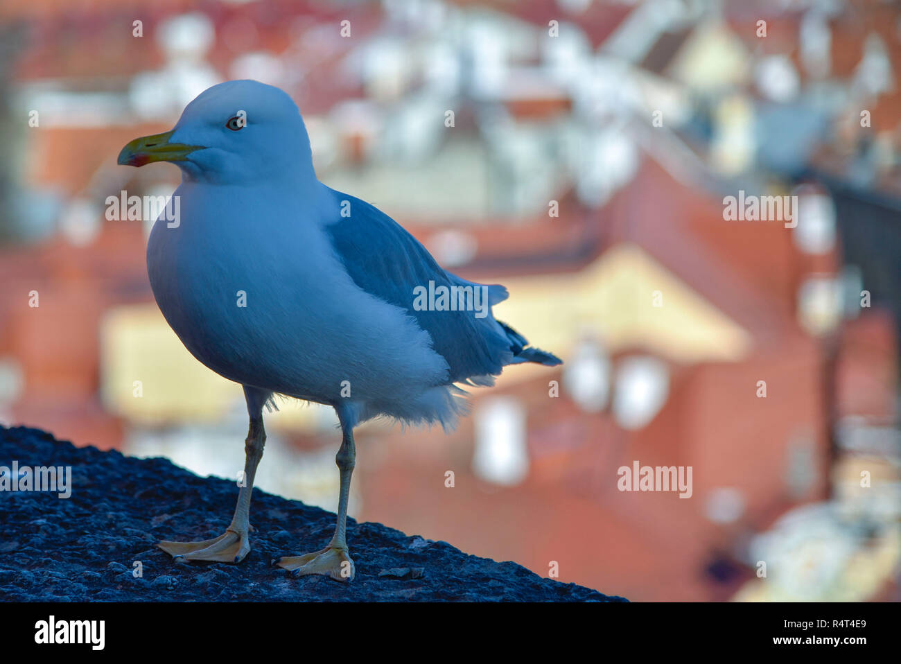 Gray white Seagull on the background of red roofs of the city shaddow - Stock Image