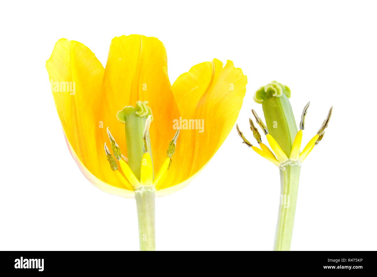 The reproductive parts of a tulip flower on white background Stock Photo