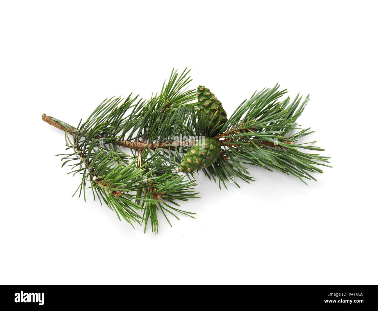 Branch of Pinus sylvestris with green cone on white background - Stock Image