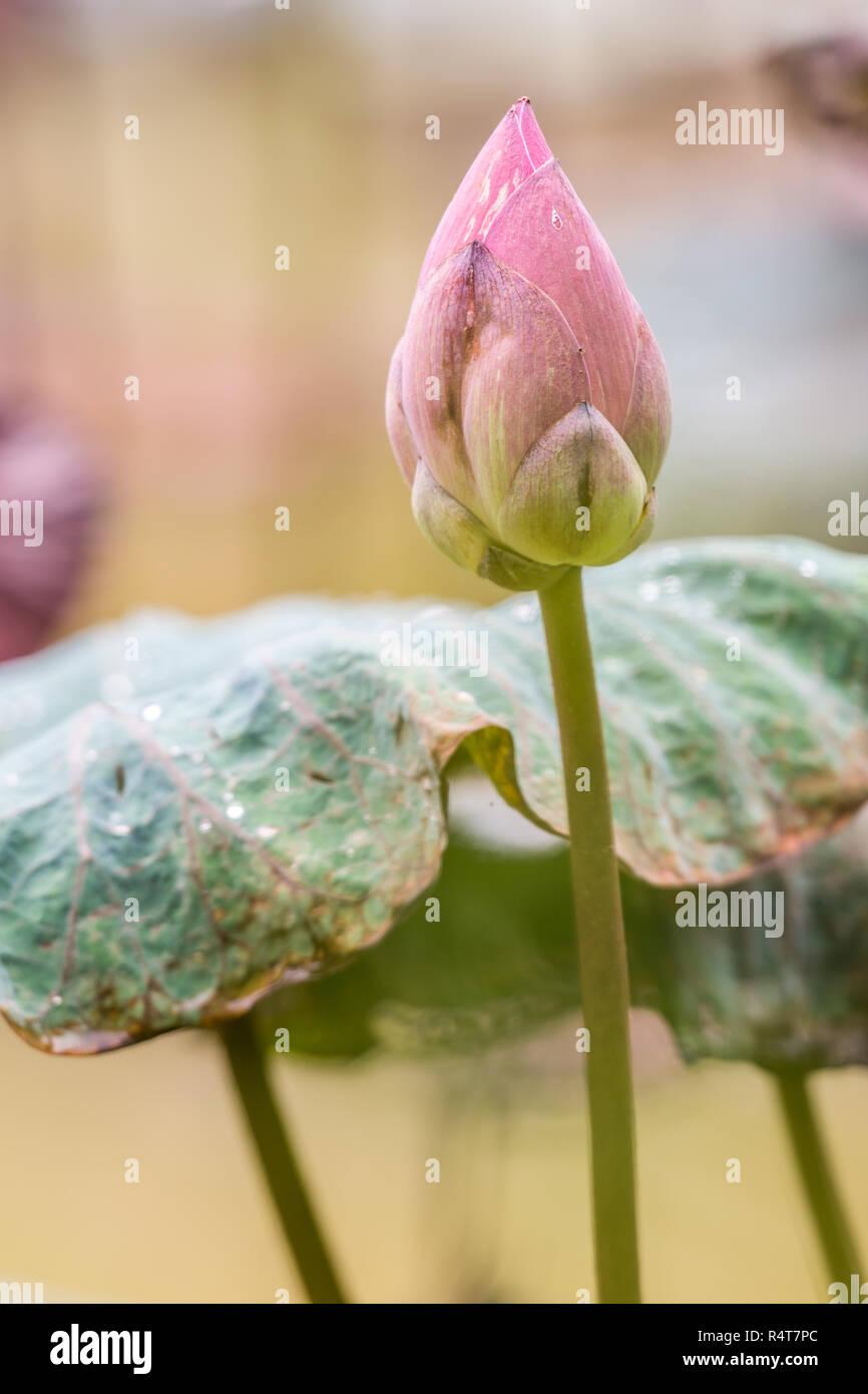 pink lotus flower bloom Stock Photo