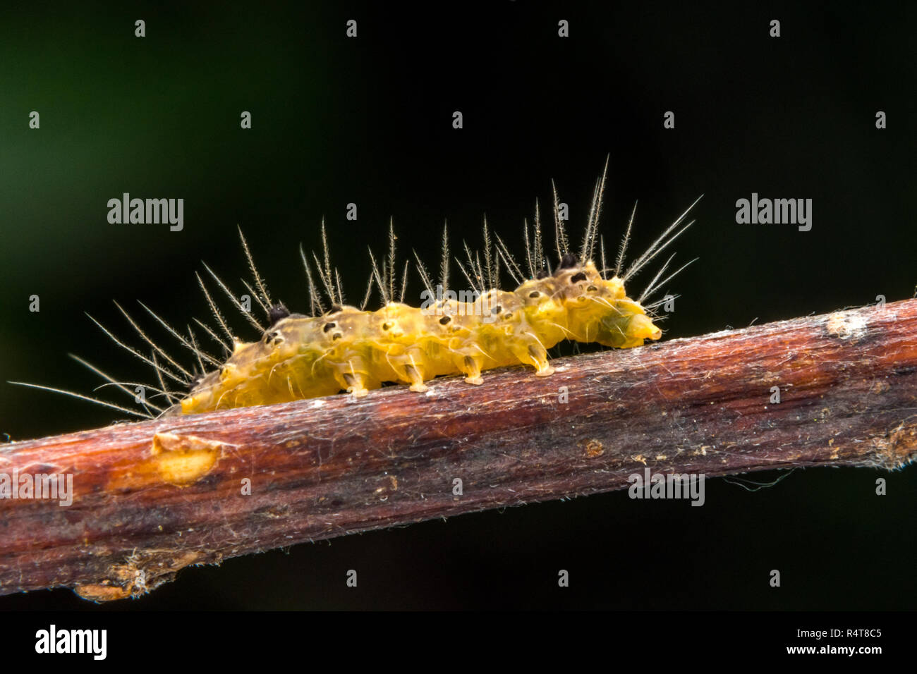 marco photography-yellow caterpillar Stock Photo