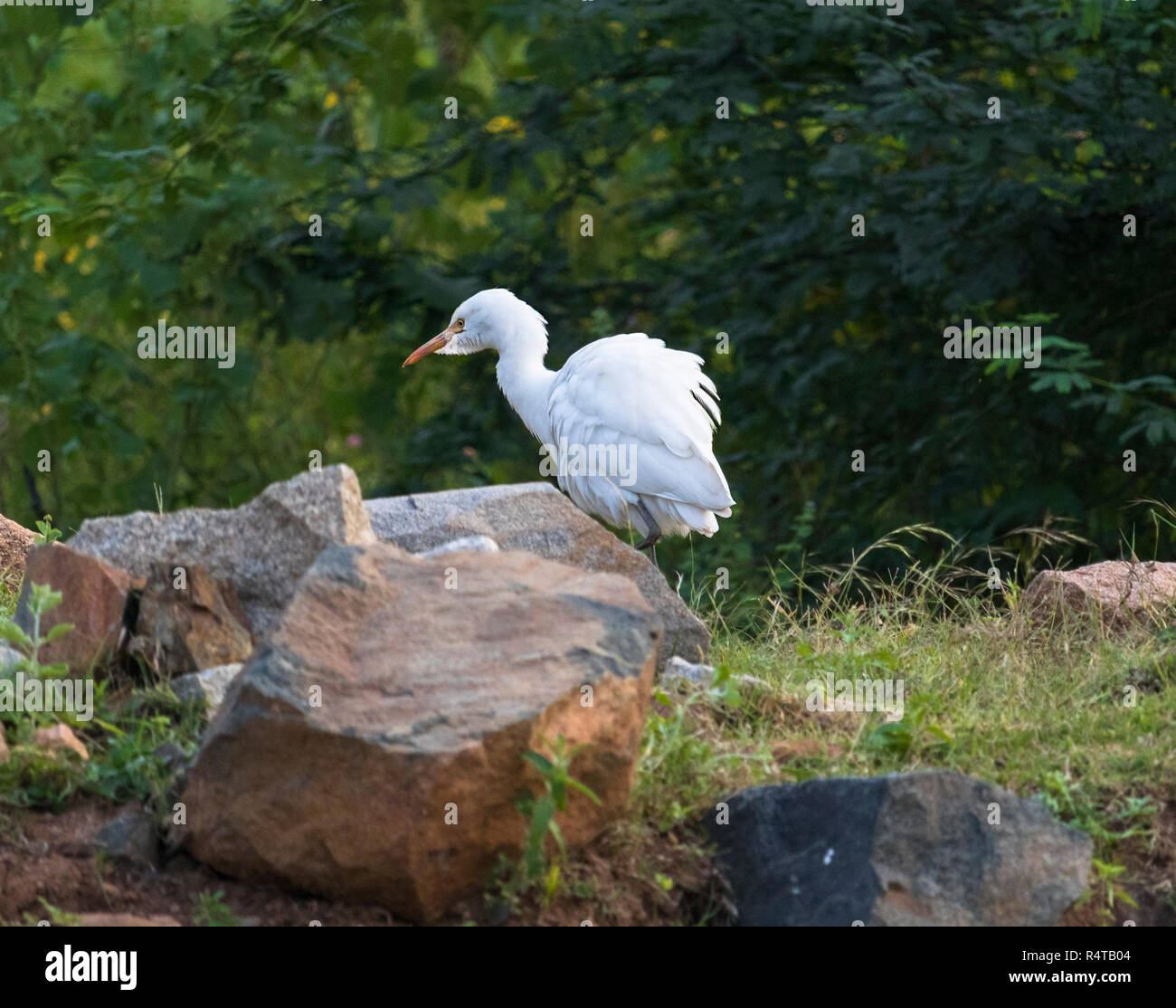 A Little Egret is seen in search of food in a sunny morning. - Stock Image