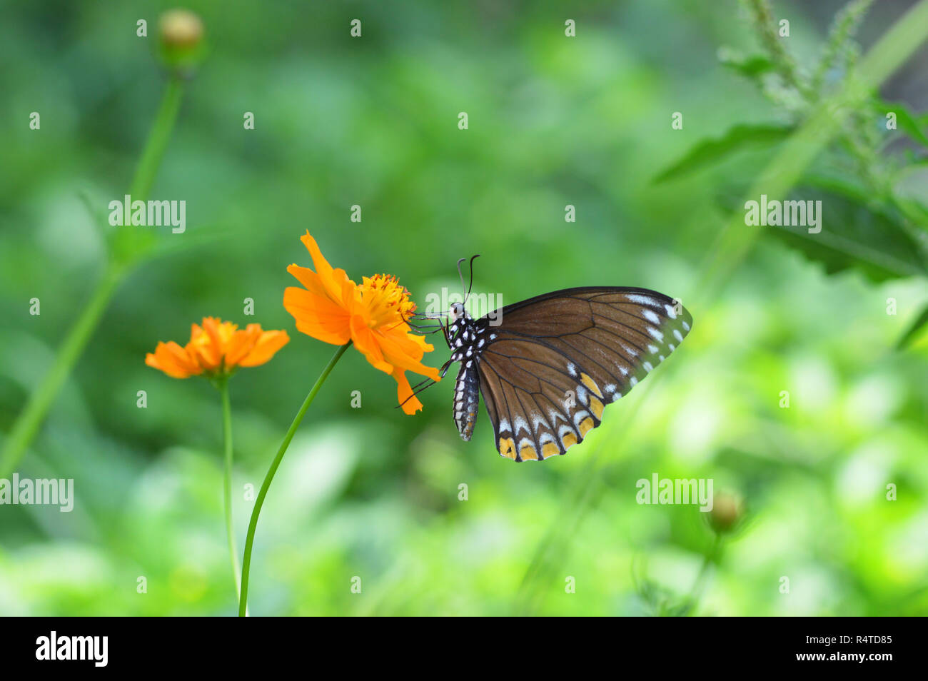 butterfly feeding on flower brown butterfly on marigold yellow flower nature green blur background on bright R4TD85